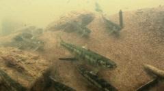 Salmon fry Arkistovideo