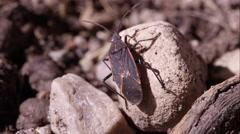 Box elder bug crawling around. Stock Footage