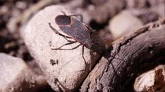 Box elder bug crawls out of frame. Stock Footage