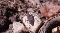 Box elder bug crawls off rock. Stock Footage