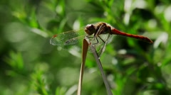 Ruddy darter  Stock Footage