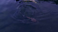 Otter swimming Stock Footage