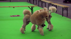 Shaved poodles at dog show Stock Footage