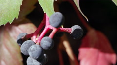 Macro shot of pokeberries. Stock Footage