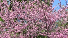 Stock Video Footage of Cercis Canadensis