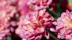 Macro shot of pink flowers. Stock Footage