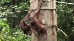 Two Orangutans groom in Borneo Stock Footage