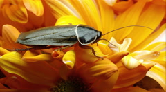 Tight shot of a simandoa cave roach on a yellow flower. Stock Footage