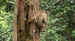 Pig Tailed Macaque grips a tree Stock Footage
