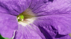 Macro shot of a purple flower. Stock Footage