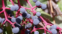 Tight shot of pokeberries. Stock Footage