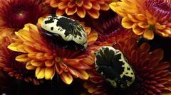 Two Harlequin Flower Beetles on some orange flowers. Stock Footage