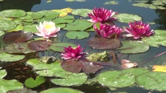Crimson waterlilies - stock footage