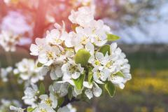 Stock Photo of Blossoming of cherry flowers.