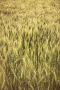 Stock Photo of Field of rye.