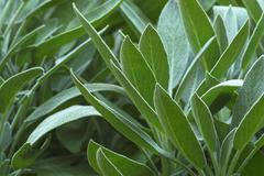 Spice plant: sage, (salvia officinalis), in vegetable garden. - stock photo