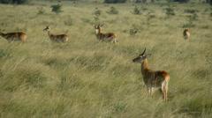 Uganda Kob in Queen Elizabeth National Park (Kobus kob thomasi), Uganda, Africa Stock Footage