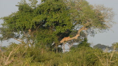 A wild climbing lions, Queen Elizabeth National Park, Uganda, Africa Stock Footage