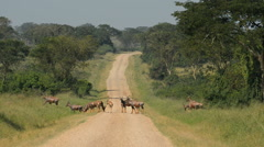The roan antelope (Hippotragus equinus), Queen Elizabeth National Park, Uganda, - stock footage