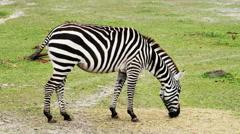 Zebra Eating Green Grass, 4K Stock Footage