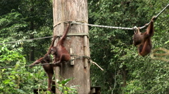 Orang-utans swing from a rope Stock Footage