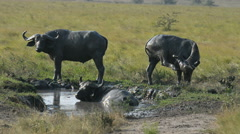 A group of wild African Buffalos, Queen Elizabeth National Park, Uganda, Africa - stock footage