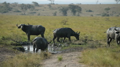 A group of wild African Buffalos, Queen Elizabeth National Park, Uganda, Africa Stock Footage