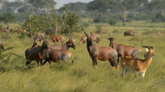 Uganda Kob in Queen Elizabeth National Park (Kobus kob thomasi), Uganda, Africa - stock footage