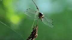 Close-up of Dragonfly on a branch (Orthetrum cancellatum), Ticino River, Italy Stock Footage