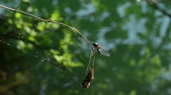 Dragonfly on a branch (Orthetrum cancellatum), Ticino River, Italy Stock Footage