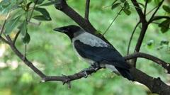 Carrion crow, Corvus corone corvis Stock Footage