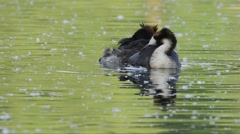 Great Crested Grebe,  cleaning behavior, Podiceps cristatus, - stock footage