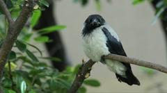 Carrion crow, Corvus corone corvis, bird, wildlife Stock Footage