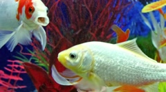 Fish Swimming In Freshwater Aquarium - stock footage