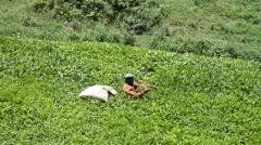 Unidentified worker at a tea plantation in the Kambuga, Uganda. Stock Footage