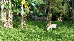 Goat and house at Balicasag Island Stock Footage