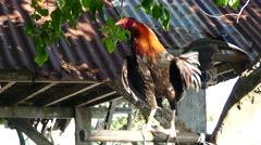 Rooster looking a round at Balicasag Island Stock Footage