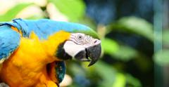 Blue and Yellow Macaw, Parrot.  Pantanal wetlands, Brazil Zoo 1 (4K) Stock Footage