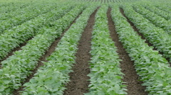 Agriculture, soybean plant in field, zoom in Stock Footage
