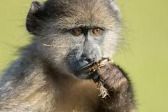 Stock Photo of Chacma baboon