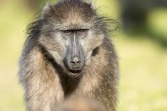 Chacma baboon - stock photo