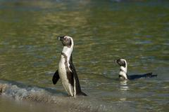 Stock Photo of Two African penguins on the beach