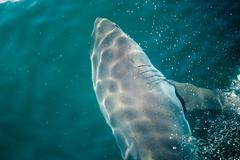 Stock Photo of Great white shark
