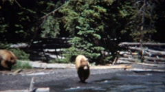 1971: Grizzly bears walking on beach waterfront hunting food. Stock Footage