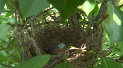 Baby Birds In Nest During Spring Stock Footage