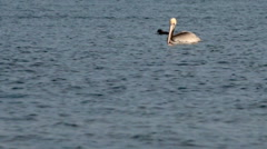 A pelican is swimming on the water while other birds passing by Stock Footage
