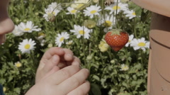 A little boy eats a freshly grown strawberry off the plant - stock footage