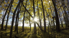 Yellow aspen tree leaves on young trees in forest by the field, time lapse 4K Arkistovideo