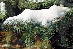 Branch of blue spruce in snow - stock photo