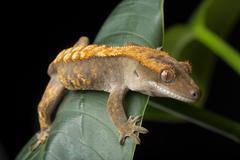 Gecko on Giant Leaf Stock Photos